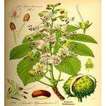 Aesculus Hippocastanum Gemmoderivato - aef7956379d26bdd - Rao Erbe
