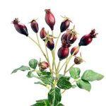 Rosa Canina Gemmoderivato - 43c5cd563d534569 - Rao Erbe