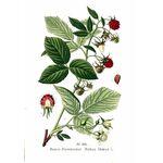 Rubus Idaeus Gemmoderivato - 4237e900a1f555cb - Rao Erbe